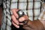 Ein Blick in die Kamera und dann schnell zurück ins Nest. Mauersegler sind größer als man denkt. Foto: Josef Taphorn