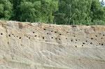 Auffällig ist, dass die Uferschwalbe scheinbar nur bestimmte Sedimentschichten für Ihre Bauten nutzt.