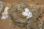 Das Nest des Mauerseglers, mit Speichel verklebt. Auch hier ein Gelege, welches nicht zu einem Bruterfolg geführt hat. Foto: Josef Taphorn