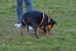 Auch der Familienhund findet Gefallen an der Pflanzaktion und gräbt schon einmal das nächste Loch, ;-)   Foto: Fosef Taphorn