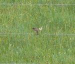 Hier das Schwarzkehlchen Weibchen, 01.05.2014 Foto: Josef Taphorn