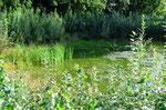 Hier ein Bild des vor wenigen Jahren entstandenen Amphibienteichs. Auch hier ist ein Rückschnitt der aufkommenden Weiden-Sträucher geplant. Ein Teich braucht Licht und Luft zum Atmen.       Foto: Josef Taphorn
