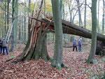 Hier wird deutlich mit welcher Kraft der Wind dem wertvollen Baumbestand zusetzt.  Foto: Josef Taphorn