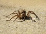 petite araignée(de loin)    2013