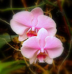 orchidee maison 2012   coolpix