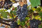 Oktober - Christine Danninger - Vor der Weinlese