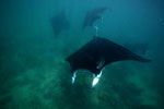 Mantas Ningaloo Reef