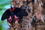 Schmetterling mit Puppen