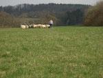 Phebbels an den Schafen