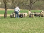 Faye an den Schafen
