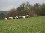 die Rainbow Schafe