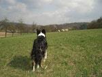 Merlin beobachtet seine Herde