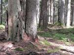 gammelskog