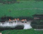 角田 実 「釧路湿原・水草を食べるエゾ鹿の群」