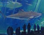 山下 百合子 「鮫」