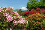 富士霊園つつじ