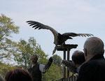 Große Greifvögel aus nächster Nähe