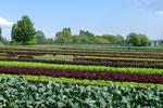 Salat und Gemüsebeete
