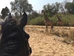 Mit dem Pferd unterwegs - herrlich, mit den Giraffen zu galoppieren.