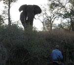 Beeindruckend auch der Elefanten-Bulle in Musth, der uns Reiter mehrfach angegriffen hat.