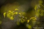 Frühlingsbirke / Vårbjørk