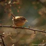 Kleiner Vogel mit großer Stimme: Der Zaunkönig / Liten fugl med stor stemme: Gjerdesmetten