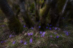 Im Leberblümchenwald / I blåveisskogen