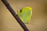 Zitronenfalter / Sitronsommerfugl