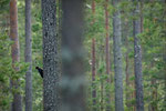 Schwarzspecht im Wald / Svartspett i skogen