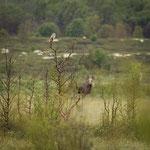 Die Eule und der Elch / Ugla og elgen