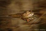 Erdkrötenspiegelbild / Paddespeiling