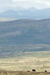 Moschus, mit den Bergen des Rondane im Hintergrund / Moskus, med Rondanefjellene i bakgrunn