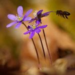 Leberblümchen und Biene / Blåveis og bie
