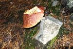 der Steinpilz, der seinem Namen alle Ehre macht