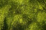 frisches Birkengrün