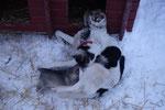 Schlittenhunde am Eishotel