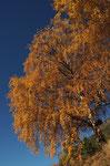 Birke in Herbsttracht