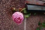 in Molde, der Stadt der Rosen, waren tatsächlich noch welche zu finden