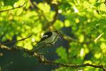 Schwarzkopfschnäpper - der hat wohl die jungen Waldkäuze gesehen, die über ihm im Baum saßen