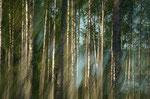 Birkenwald mal anders