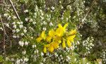 Baumheide / Erica arborea, blüht ab Dezember ,  und   Binsenginster oder Pfriemenstrauch / Spartium junceum