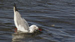 Hartlaubmöwe / Hartlaub's Gull