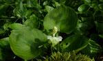 Drachenwurz / Calla palustris