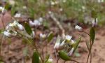 012-Erophila verna  Frühlings-Hungerblümchen