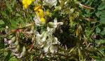 110 : Südlicher Tragant / Astragalus australis / Eggerhorn ob Binntal 1.7.2020