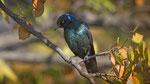 Rotschulterglanzstar / Cape Glosse Starling