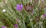 Geschlossene Strohblume / Xeranthemum inapertum