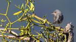 Weissbartgrasmücke Männchen Lötschberg Südrampe 10. Juni 2017