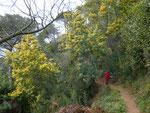Silber-Akazie oder   Falsche Mimose / Acacia dealbata , bis 15 m hoch