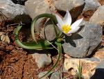 Kretische Tulpe / Tulipa cretica, Kreta-Endemit, innen mattgelb